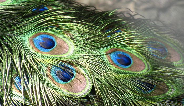 Peacock feathers have structural color, which is not produced by a pigment. / Credit: Wikimedia Commons/AlexDuarte