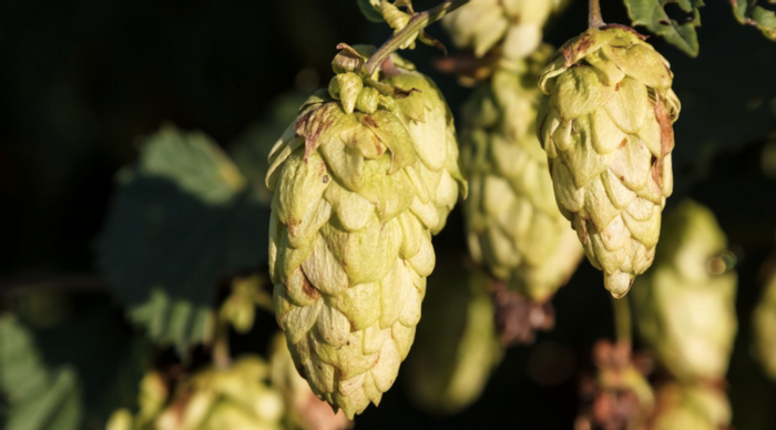 Hops, the dried flowers of a climbing plant, give beer flavor, but they require a lot of energy to grow. / Image credit: Pxhere