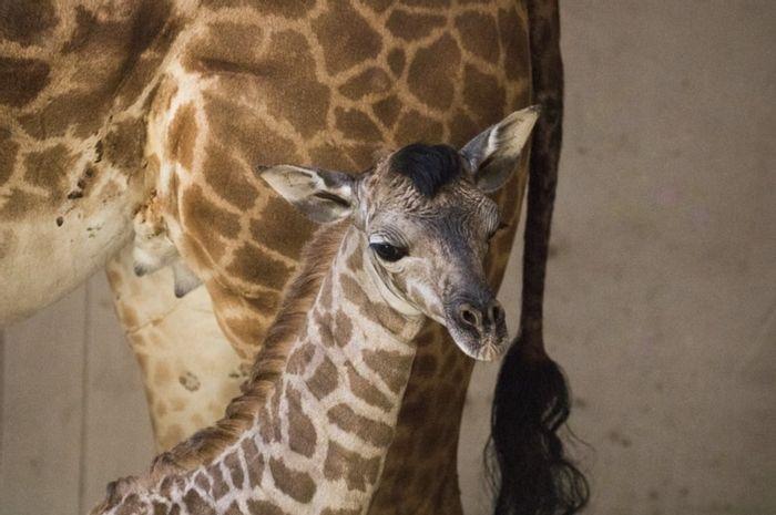 Meet the new baby giraffe from Santa Barbara Zoo.