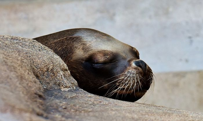 Baikal seals are tiny, and at least 130 have been found deceased in Russia for unknown reasons.
