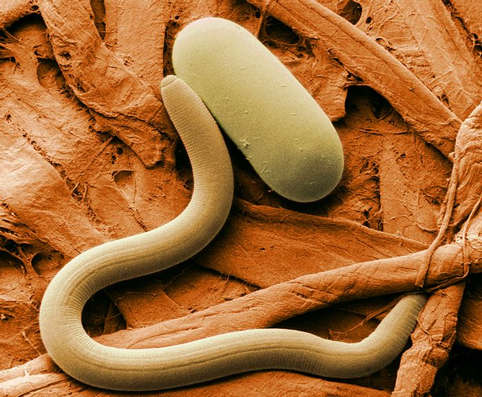 An example of a nematode.