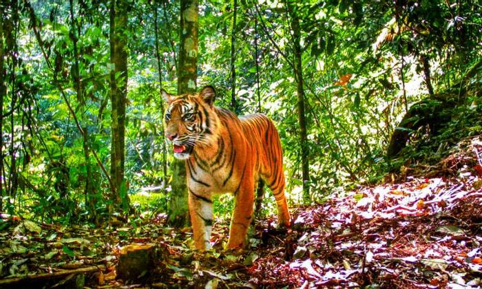 Meet the Sumatran Tiger.