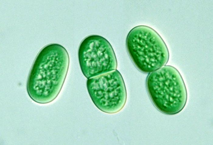 These cyanobacteria divide by binary fission.