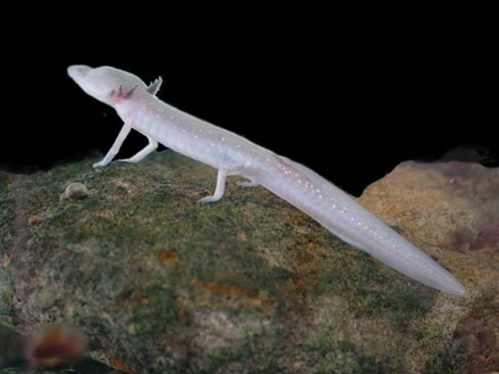 A Texas blind salamander, one of the many creatures that were stolen from the San Marcos Aquatic Resources Center over Thanksgiving weekend, 2016.