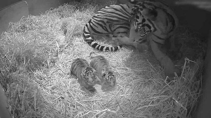 Tiger cubs sitting by their mother at the ZSL London Zoo.