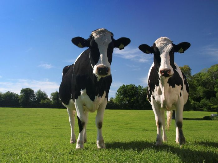 Can these cows prevent allergies?