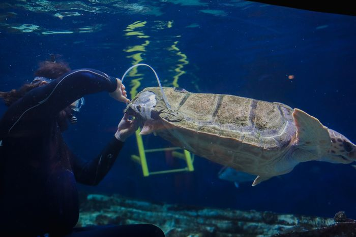 This loggerhead received a 3D-printed shell brace to help it grow more normally.