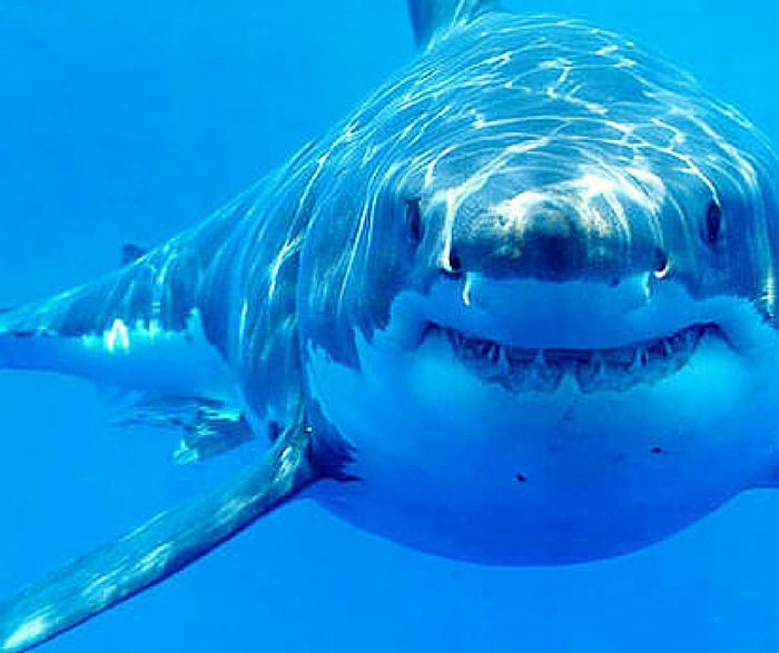 A great white shark has died in captivity after just three days in a Japanese aquarium.
