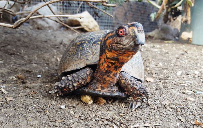 Both tortoises and turtles alike are waning in numbers, and we have to act now to save them.