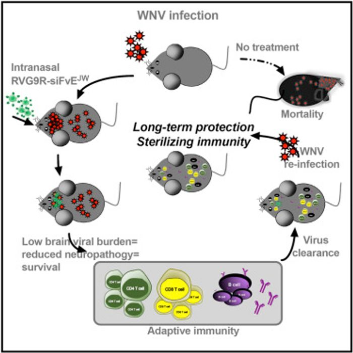 Graphical abstract from Cell Host & Microbe, Beloor et al