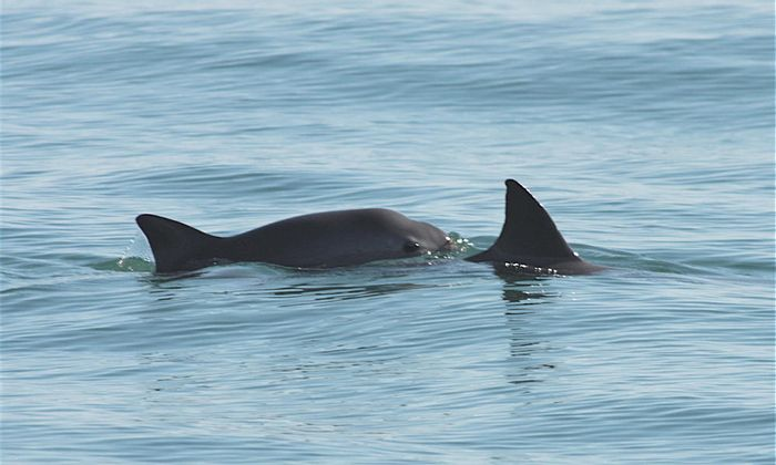 Two vaquita swimming in the Gulf of California.