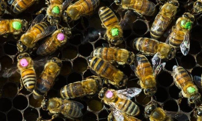 Dots mark bees treated with antibiotics. -Univ. of Texas at Austin