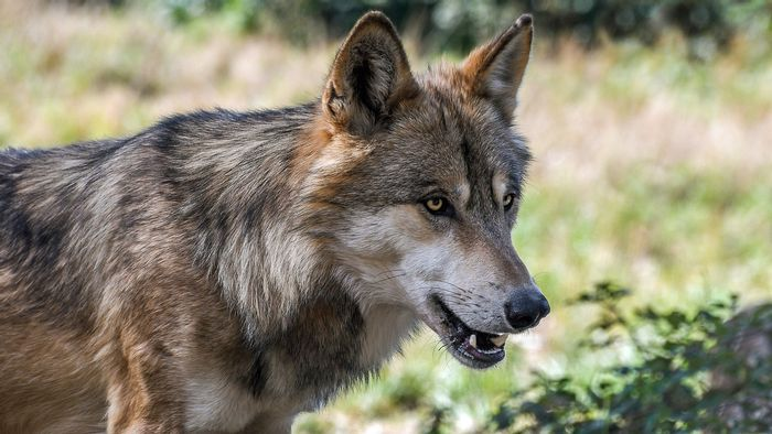 Animal experts saw the first wild wolf in Northern Belgium in more than a century.