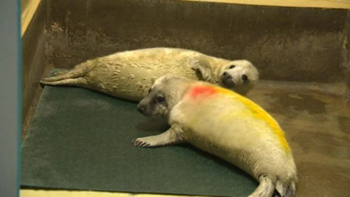 Twin grey seal pups were discovered in Norfolk last year, and may be the first time this has ever been discovered.