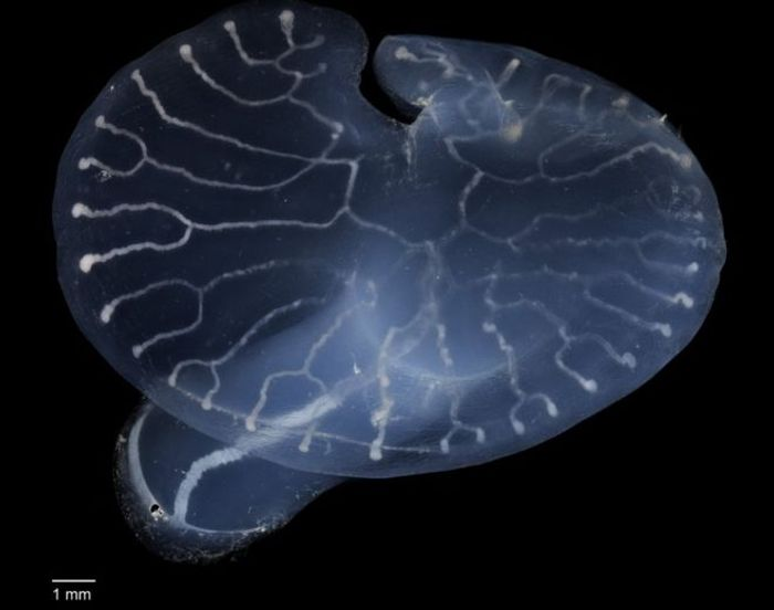 New information has been revealed about the mysterious deep-sea mushroom.