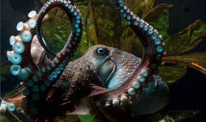 Inky the octopus escaped the New Zealand Aquarium after climbing out of his tank.