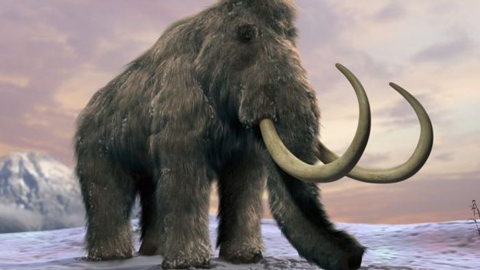 The mammoth went extinct just a few thousand years ago, and climate change may have been to blame.