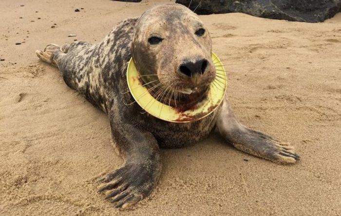 Mrs. Frisbee is a seal from north Norfolk that had a yellow toy Frisbee tightly-entangled around her neck.