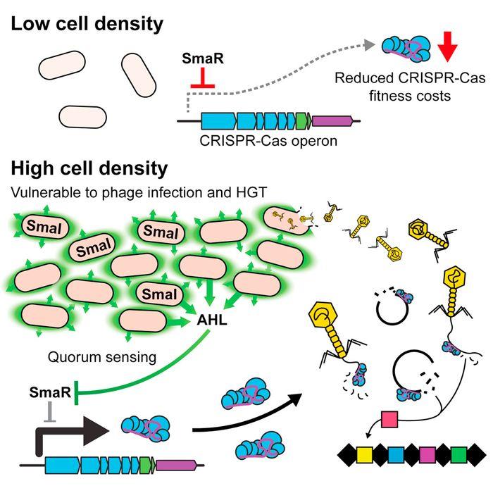 Quorum Sensing Controls Adaptive Immunity through the Regulation of Multiple CRISPR-Cas Systems  / Credit: Molecular Cell 2016 Patterson et al