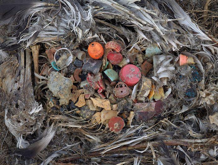 The debris inside an albatross's stomach. Photo: Plastic Pollution Coalition