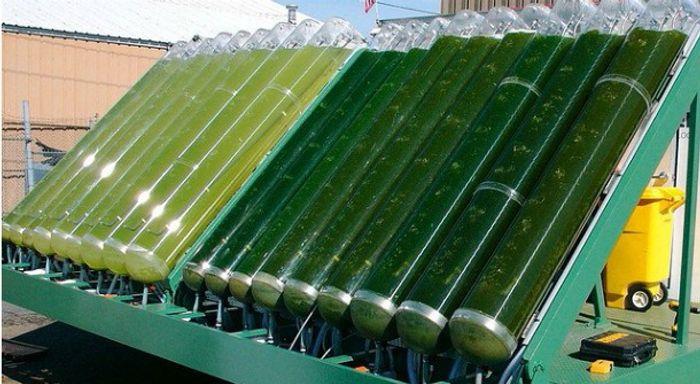 Algae biomass production. Photo: Energy Digital
