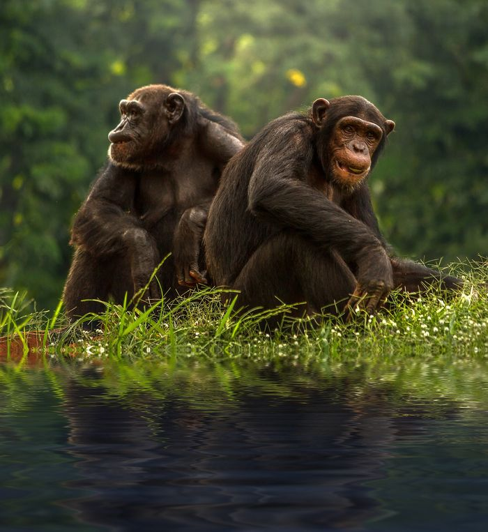 "Chimpanzees tap into the power of the ""Cuddle Hormone"" to band together during acts of war, just like humans do."