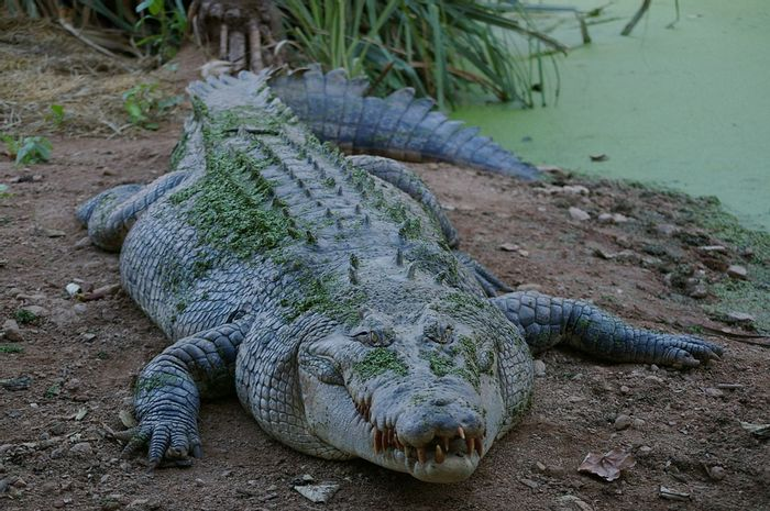 The crocodile that attacked Anne Cameron (not pictured) was over 14 feet long.