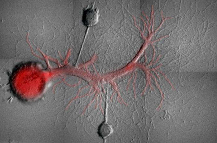 Two Aplysia sensory neurons with synaptic contacts on the same motor neuron in culture after isolation from the nervous system of Aplysia. The motor neuron has been injected with a fluorescent molecule that blocks the activity of a specific Protein Kinase M molecule. / Credit: Schacher Lab/Columbia University Medical Center
