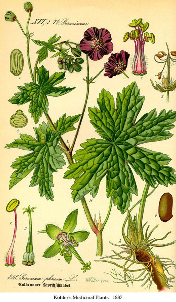 Illustration of Artemisia annua