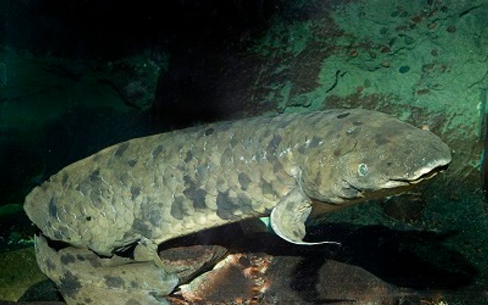 A picture of Granddad, the 84+ year-old Australian lungfish that recently passed away.