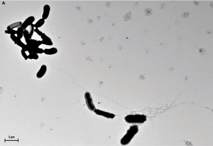 ?-amyloid fibrils grow from yeast surfaces and trap Candida albicans in culture medium.