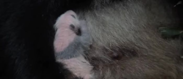 The baby panda is cuddled by her mother at Ueno Zoo in Tokyo, Japan.