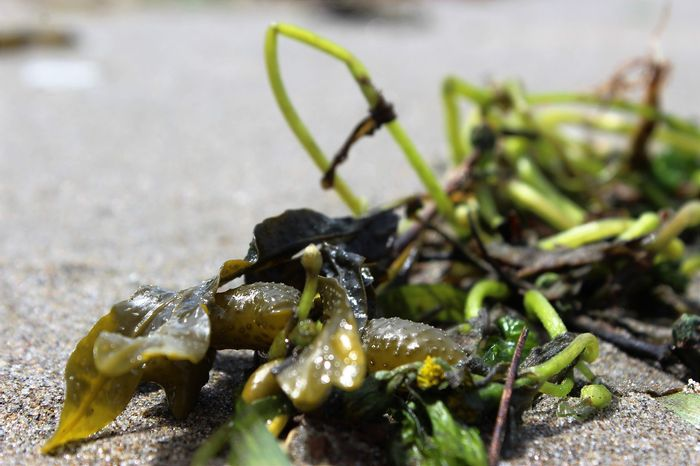 Seaweed may have played a large role in allowing our ancestors' brains to develop into the complex things they are today.