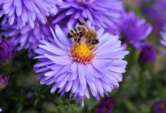 Honeybees are spreading viruses to bumblebees through flowers. Photo: Pixabay