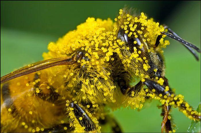 A closeup of a bee carrying pumpkin pollen.