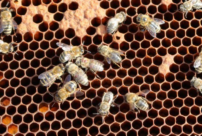The Varroa mite and the deformed wing virus are main factors responsible for alarming bee mortality. / Credit: Kerstin Seitz/Vetmeduni Vienna