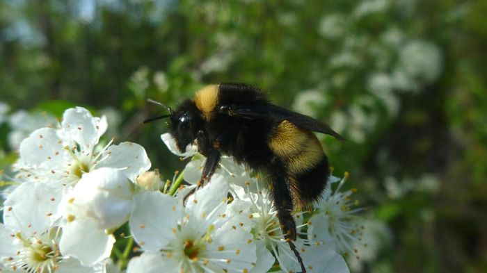 This is a yellow-banded bumblebee. / Credit: Credit Victoria MacPhail, PhD candidate, York University