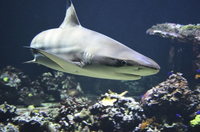 "Conservation efforts of sharks are threatened by a practice called ""finning,"" but new laws may threaten conservation efforts, scientists argue."