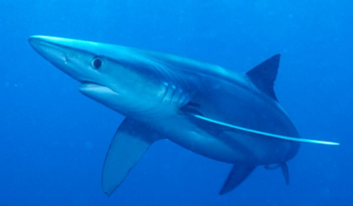 blue sharks, credit: sharkcagediving.co.za