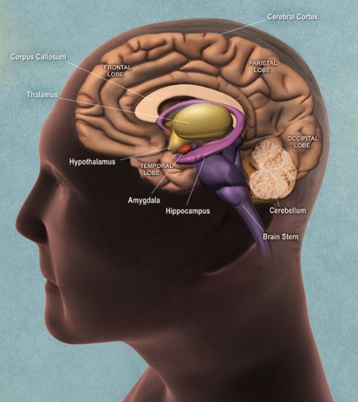 Drawing of the human brain, notice the location of the hypothalamus and brain stem. (National Institute for Aging)
