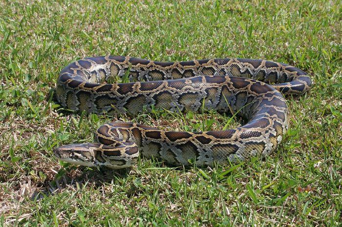 A Burmese python snake.
