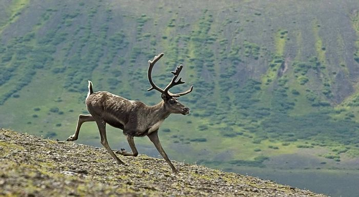 Canada's caribou are in steep decline. But are we taking the right steps to conserve them? Photo: Pixabay
