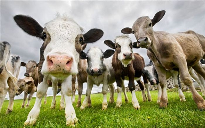 Many cattle in China will soon be cloned to keep up with rising beef supplies.
