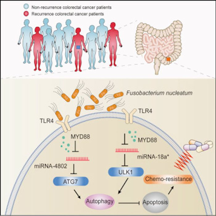 Mechanistically, F. nucleatum targeted TLR4 and MYD88 innate immune signaling and specific microRNAs to activate the autophagy pathway and alter colorectal cancer chemotherapeutic response. / Credit: Cell Yu et al 2017