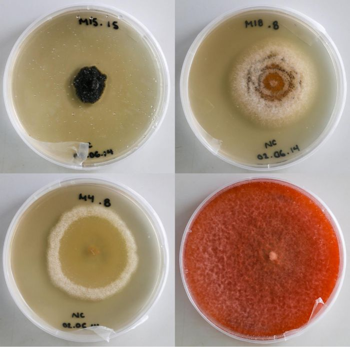 Foliar endophytic fungi are part of the plant leaf microbiome, and are easily grown in culture. / Credit: Natalie Christian