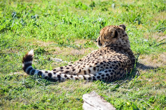 Cheetahs may eat their prey differently depending on their surroundings.