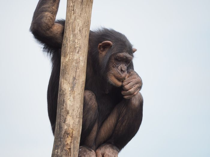 Chimpanzees have been revered as incredibly powerful beasts, but a new study reveals that those stories may have been exaggerated just a bit.