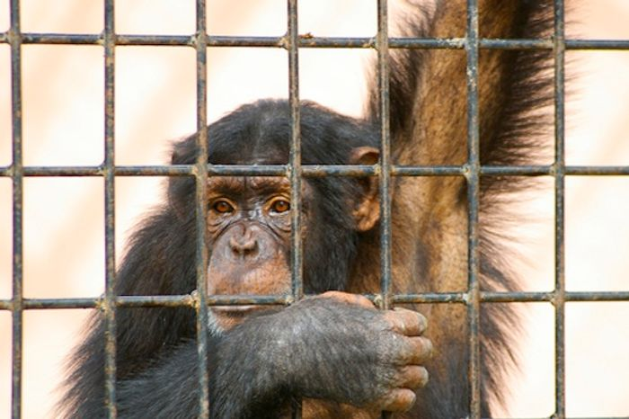 220 lab chimps will be moved to a sanctuary to live out the rest of their lives in freedom.