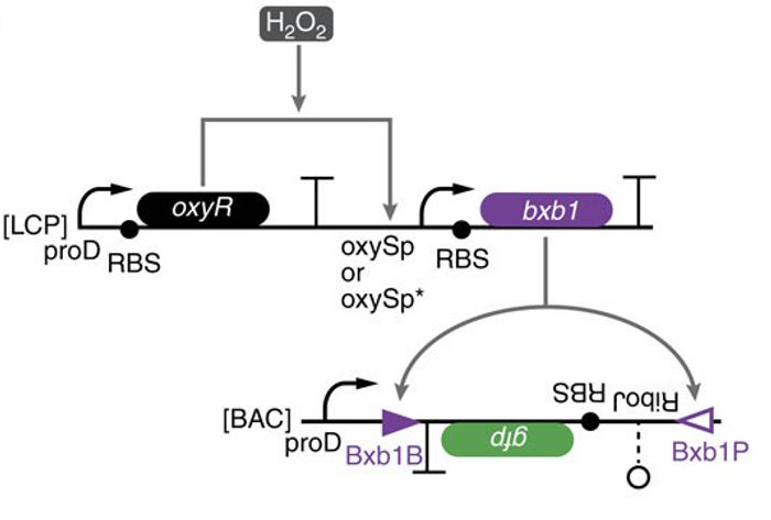 The low-threshold H2O2 comparator circuit: OxyR is constitutively expressed and activates transcription of bxb1 recombinase in response to H2O2. Bxb1 inverts the gfp expression cassette thus turning on GFP expression. The gfp cassette can cleave the 5?-untranslated region of an mRNA transcript (RiboJ)61, a computationally designed RBS62, the gfp-coding sequence and a transcriptional terminator.