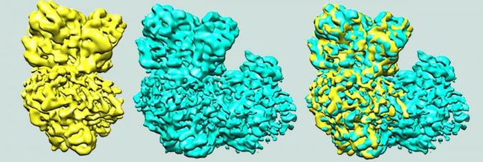 One of the enzymes, in yellow, that is part of the supercomplex, blue, fits nicely into the ankle and heel of the boot-shaped supercomplex. / Credit: Robert Gennis